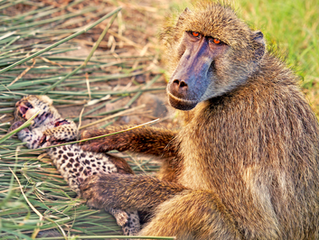 Baboons Steal & Groom 2 Leopard Cubs