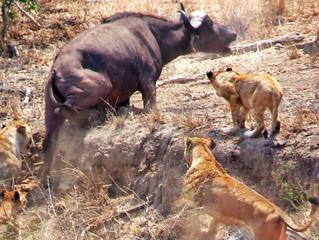 Buffalo Stuck & Cornered by Lions Calls for Backup