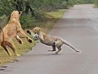 Lion Attacks Leopard in Road