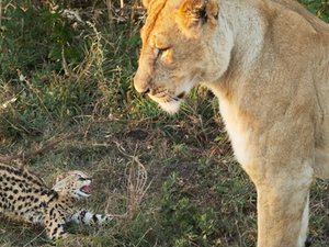 Lone Serval Kitten Tries to Fight off Lion