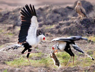 2 Secretary Birds Attack Hare