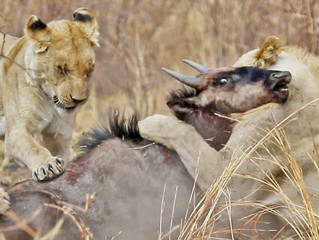 Wildebeest Escapes Twice From Distracted Lions