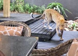 Leopard Walks Amongst People in Restaurant