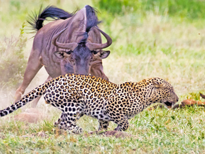 Wildebeest Tries Saving her Calf From Leopard & Warthogs