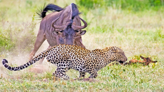 Wildebeest Tries Saving her Calf From Leopard & Warthogs