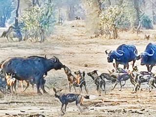 Wild Dogs Take Down Adult Buffalo