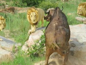 3 Lions Corner Buffalo With Broken Foot