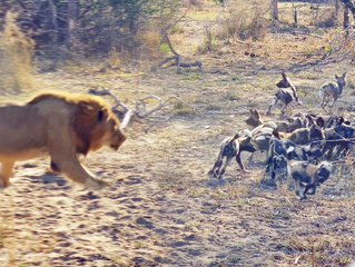 Male Lion Takes Out Wild Dog Pups