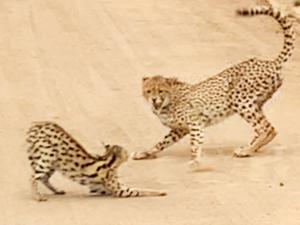 Serval vs Cheetahs