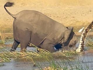 Elephant Kills Crocodile