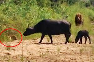 Buffalo Calf Escapes Leopard Only To Run Into a Lion
