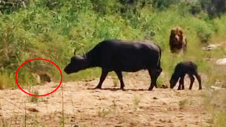 Buffalo Calf Escapes Leopard Only To Run Into a Lion