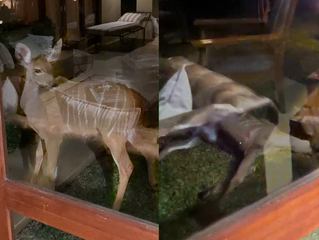 Kudu Being Admired From Tourist's Room Gets Caught by Hyena