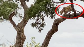 Leopard Strikes Buck From Tree
