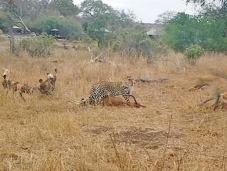 Leopard vs Wild Dogs vs Hyenas vs Impala