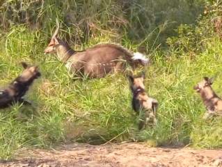 Wild Dogs Eat Bushbuck Alive as it Fights Back