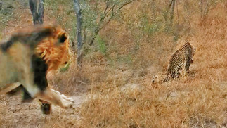 Male Lion Gives Leopard the Fright of its Life