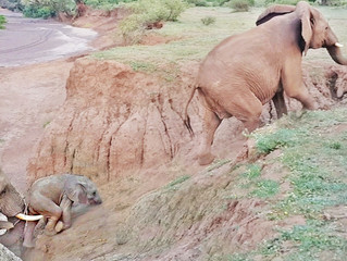 Baby Elephant Stuck on Cliff Gets Helping Hand