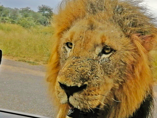 When 3 Huge Lions Surround Tiny Car