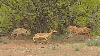 Leopard & Hyena Fight over Pregnant Impala While it Tries to Run Away