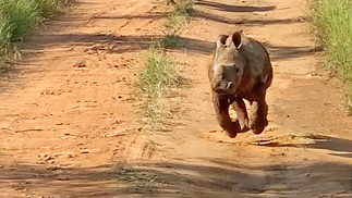 The Most Excited Baby Rhino Ever!