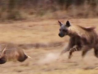 Aardvark Tries to Outrun Hyena