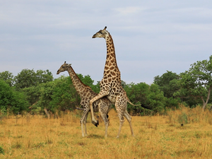 Giraffe Tries Hard to Mate With Female