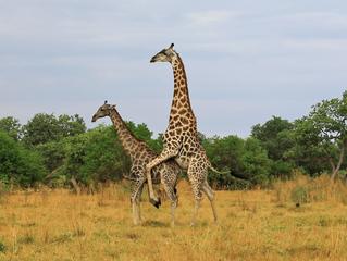 Giraffe Tries Hard to Mate With Female
