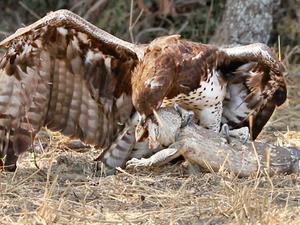 Eagle Rips Lizard's Eyes Apart As it Tries to Escape