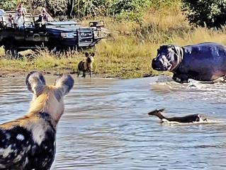 Battle Between Wild Dogs, Hippo & Impala