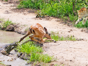 Impala Escapes Crocodile Only to Get Caught by Leopard