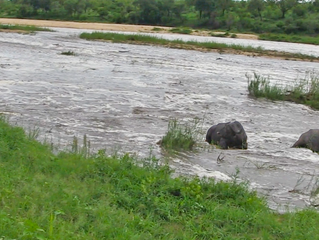 Sleeping Buffaloes Don't Realize the River Is Flooding Around Them!