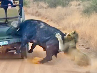 Buffalo Smashes Car to Try Chase Lions Away