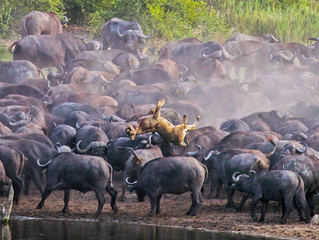 Herd of 100+ Buffalo Kill a Lioness