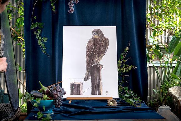 Karearea (NZ Falcon) SRA2