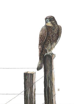 Karearea (NZ Falcon)