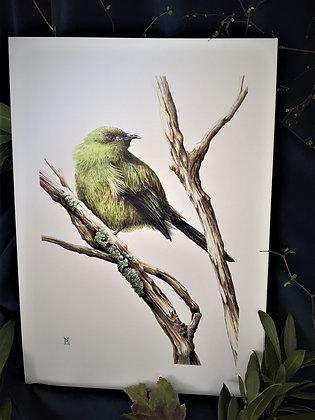 Korimako (Bellbird) A3 Print