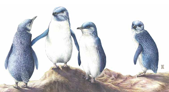 Little Blue Penguins SRA2