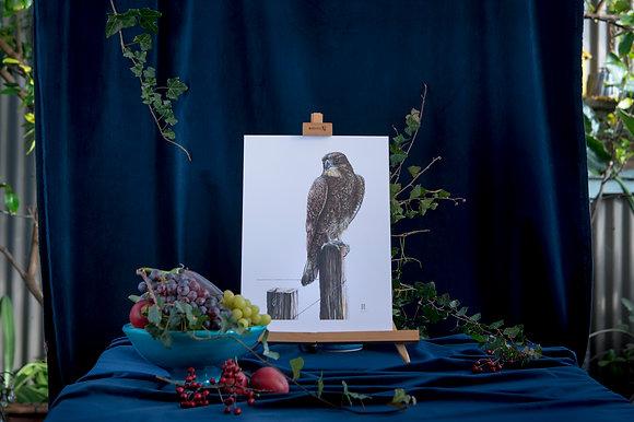 Karearea (NZ Falcon) A3
