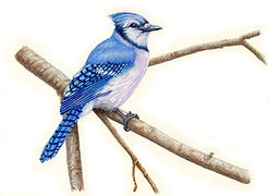 Blue Jay on a Branch - Facing Right and