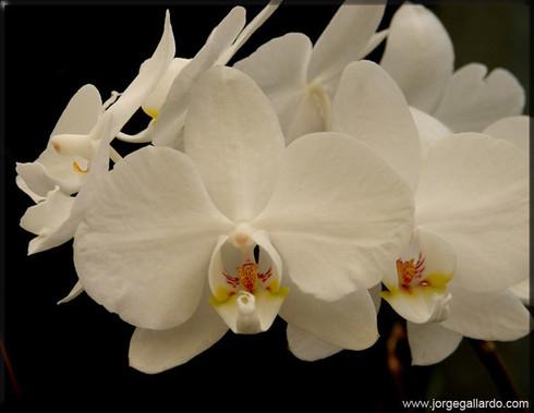 69_whiteorchids72dpi85x11.jpg