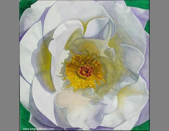 6_whiterose72dpi85x11.jpg