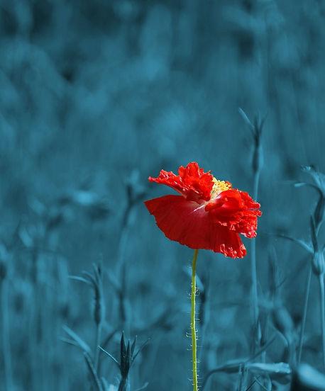 poppy-186635_1280.jpg