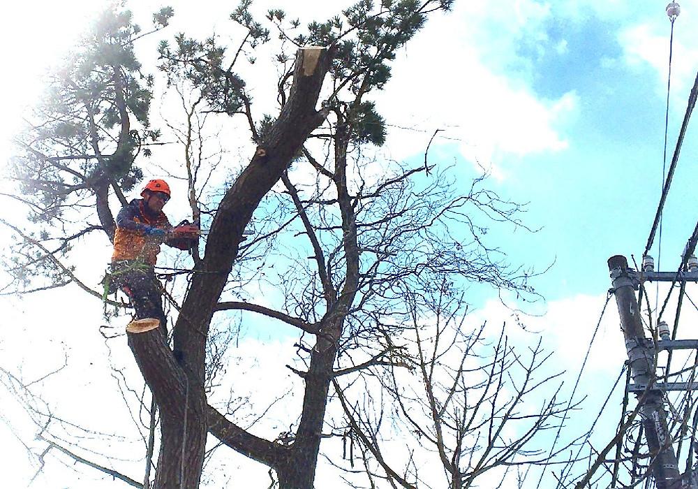 柳の幹を切る空師