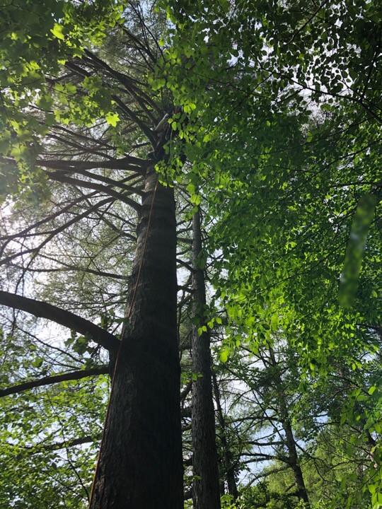 枝の多い木の特殊伐採