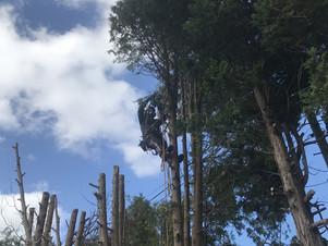 洞爺湖周辺・ヒバの伐採と芯止め|北海道の空師のしごと