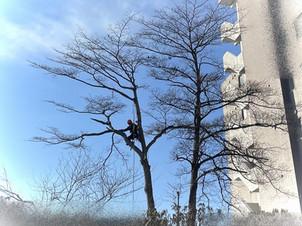 マンションの狭間のミズキを伐採|北海道の冬の現場から