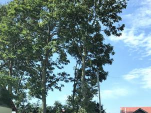 傾いたドロノキとヤチダモの伐採|道央地区の空師の現場から
