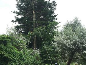 防風林トドマツを伐る|こちら北海道の特殊伐採業者です