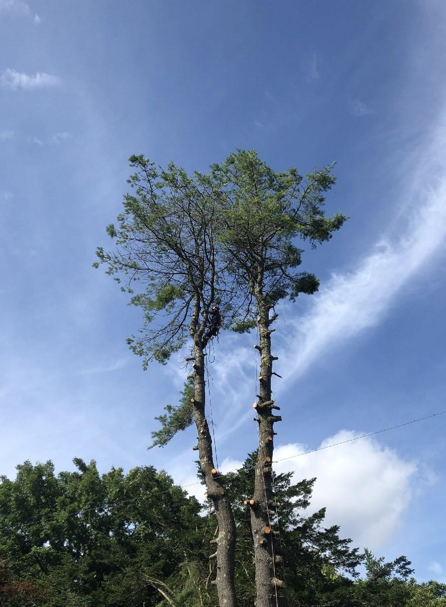 空師、枝をどんどん伐って落とします